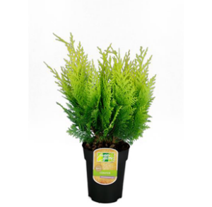 Barrväxter / Vintergröna Växter